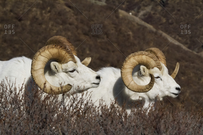 Dall sheep (ovis dalli) rams in South-central Alaska, Chugach Mountains near the Seward Highway in springtime, Alaska, United States of America