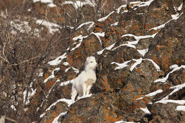 Dall sheep (ovis dalli) lamb, Chugach Mountains near the Seward Highway in the Windy Point area Mile 107, South-central Alaska, Alaska, United States of America