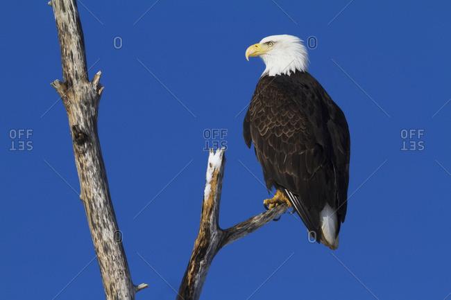 Bald Eagle (Haliaeetus leucocephalus) perched on branch in South-central Alaska, Alaska, United States of America