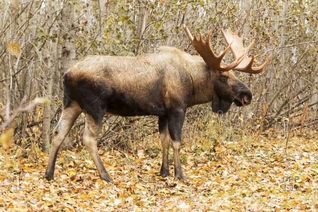 Large bull moose (alces alces) looking for cow moose in West Anchorage area in autumn, Rutting season for moose, Anchorage, Alaska, United States of America