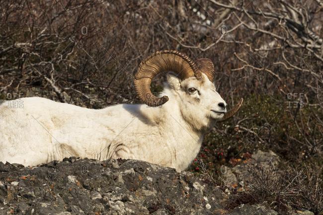 Dall sheep (ovis dalli) ram, Chugach Mountains near Seward Highway South of Anchorage, South-central Alaska, Alaska, United States of America