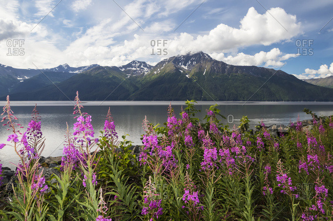 A colorful patch of fireweed (Chamerion angustifolium) stands between the Seward Highway and the  waters of Turnagain Arm, Kenai Mountains in background, South-central Alaska, Alaska, United States of America