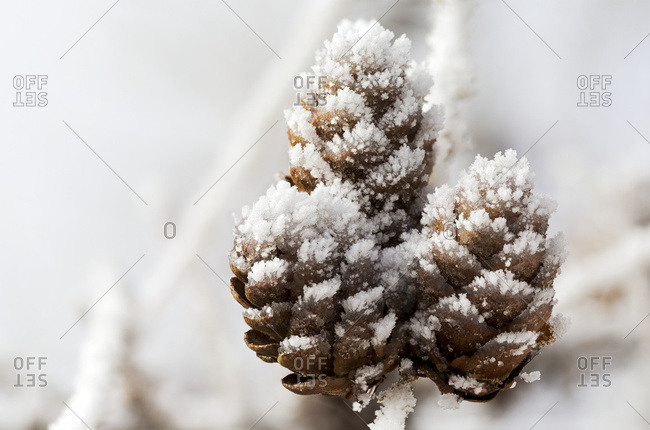Close up of frosted pine cones, Calgary, Alberta, Canada