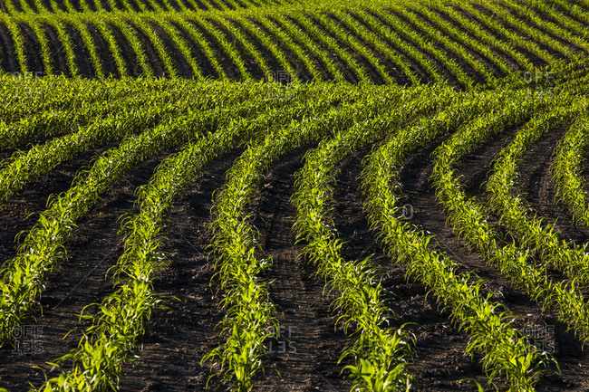 Corn field in early growth, Compton, Quebec, Canada