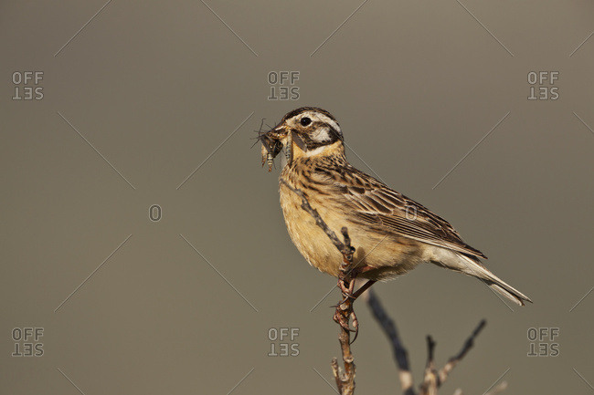 Smith's longspur (Calcarius pictus) female with mouth full of insects perched in felt-leaf willow (Salix alaxensis) bush, in arctic tundra, Arctic coastal plain, Northern Alaska, Alaska, United States of America