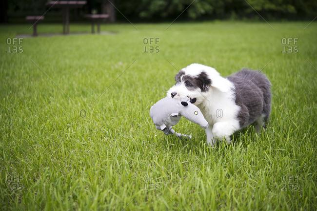 Old english sheepdog running with toy, Regina, Saskatchewan, Canada