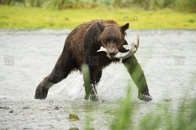 Brown bear (ursus arctos) fishing in Geographical Bay, Alaska, United States of America
