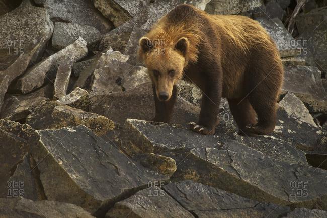 Alaskan coastal bear (ursus arctos), Geographical Bay, Alaska, United States of America