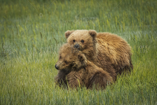 Alaskan Coastal bear (ursus arctos) cubs sitting together in a grass field, Lake Clark National Park, Alaska, United States of America