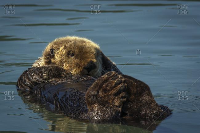 Sea Otter (Enhydra lutris), Lake Clark National Park, Alaska, United States of America