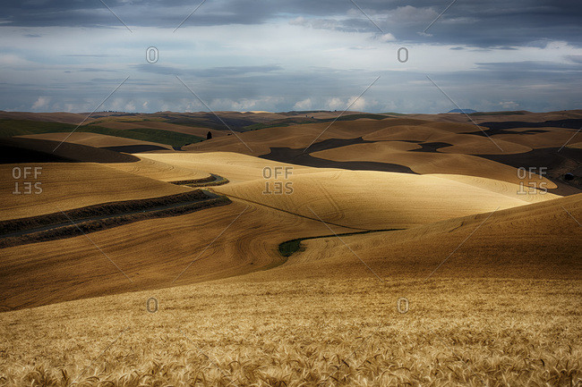 Golden wheat fields on rolling hills, Palouse, Washington, United States of America