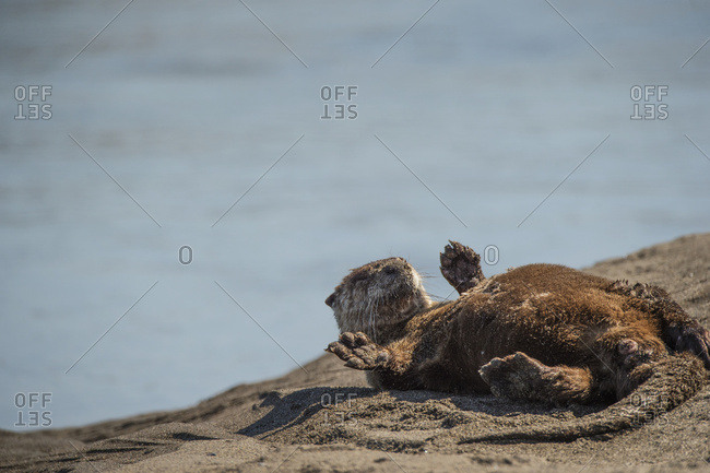 North American river otter (Lontra canadensis), Lake Clark National Park, Alaska, United States of America
