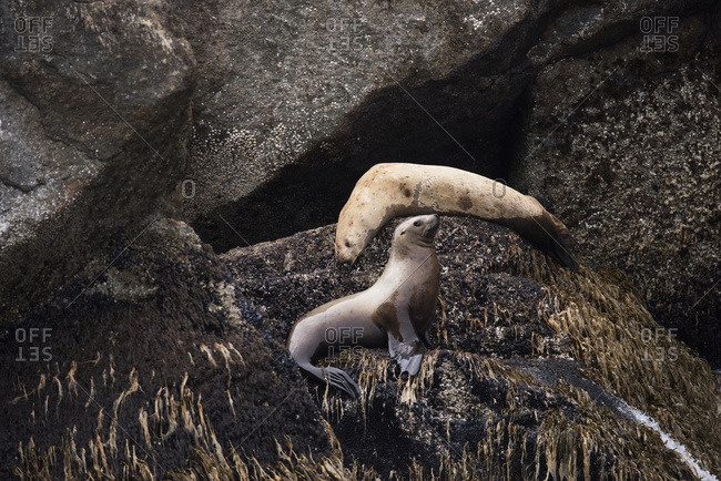 Stellar sea lions (Eumetopias jubatus) in the harbor, Seward, Alaska, United States of America