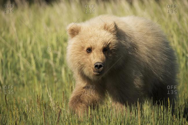 Alaskan coastal bear (ursus arctos) cub in a grass field, Lake Clark National Park, Alaska, United States of America