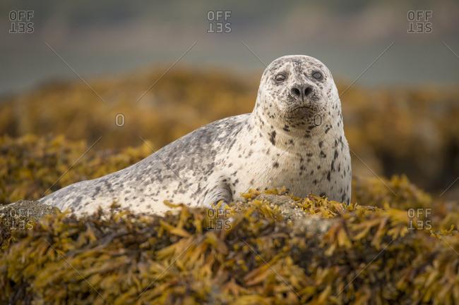 Harbor seal (Phoca vitulina) pup, Geographical Bay, Alaska, United States of America