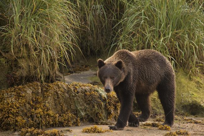 Brown bear (Ursus arctos) walking on sand beside tall grass, Alaska, United States of America