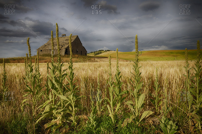 Old wooden barn in a wheat field under a cloudy sky, Palouse, Washington, United States of America