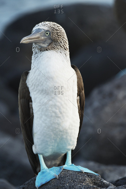Blue-footed booby (Sula nebouxii), Galapagos Islands, Ecuador