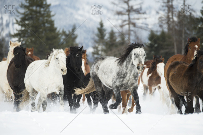 Horses running in the snow on a ranch in winter, Montana, United States of America