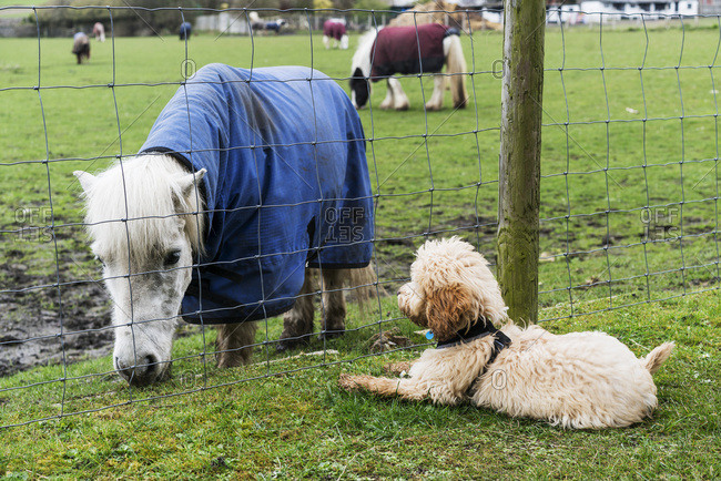 A cockapoo sits on the grass on the other side of a fence watching a Shetland Pony (Equus ferus caballus), South Shields, Tyne and Wear, England