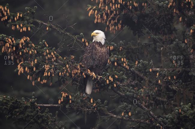 Bald eagle (Haliaeetus leucocephalus) perched in Sitka spruce tree, South-central Alaska, Alaska, United States of America