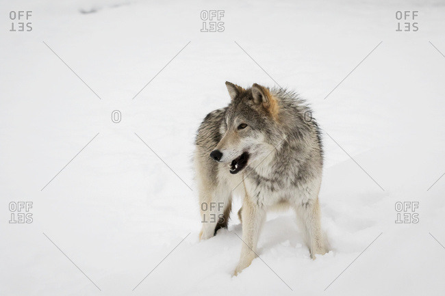 Female Tundra Wolf (Canis lupus albus) in snow at the Alaska Wildlife Conservation Center, Portage, Alaska, United States of America