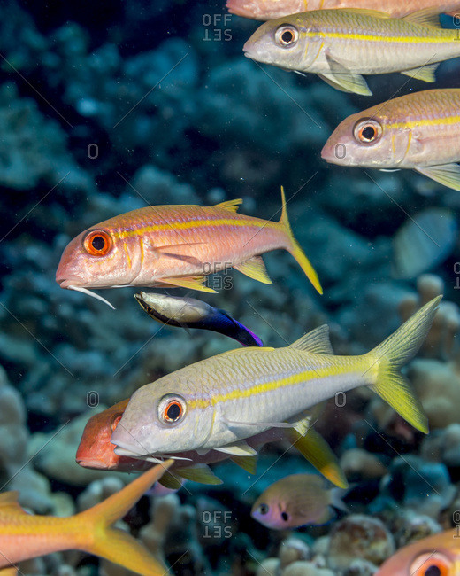 Yellow fin Goatfish (Mulloidichthys vanicolensis) being attended by a Hawaiian Cleaner Wrasse (Labroides phthirophagus), an endemic Hawaiian fish species, near a reef and schooled off the Kona coast, Kona, Island of Hawaii, Hawaii, United States of America