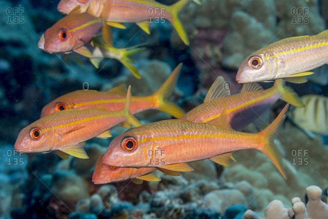 Yellow fin Goatfish (Mulloidichthys vanicolensis) schooled off the Kona coast, Kona, Island of Hawaii, Hawaii, United States of America