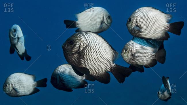 A school of Hawaiian Dascyllus (Dascyllus albisella), a Hawaiian endemic fish, off the Kona coast, Kona, Island of Hawaii, Hawaii, United States of America