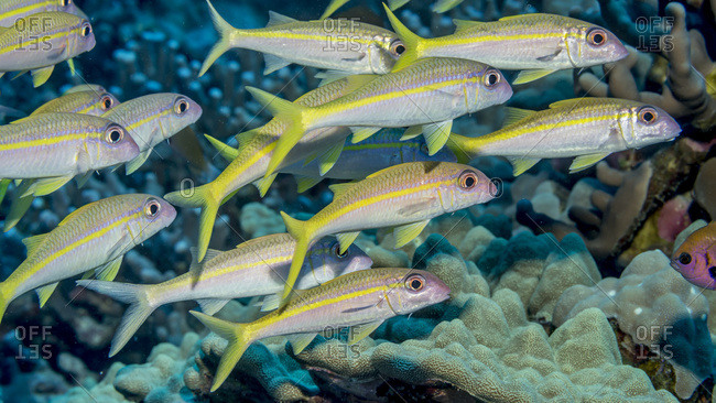 Yellow fin Goatfish (Mulloidichthys vanicolensis) schooled off the Kona coast, Kona, Island of Hawaii, Hawaii, United States of America