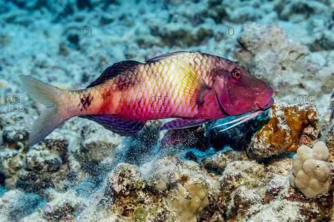 Island Goatfish (Parupeneus insularis) releasing sand through its gill slits after feeding off the Kona coast, Kona, Island of Hawaii, Hawaii, United States of America