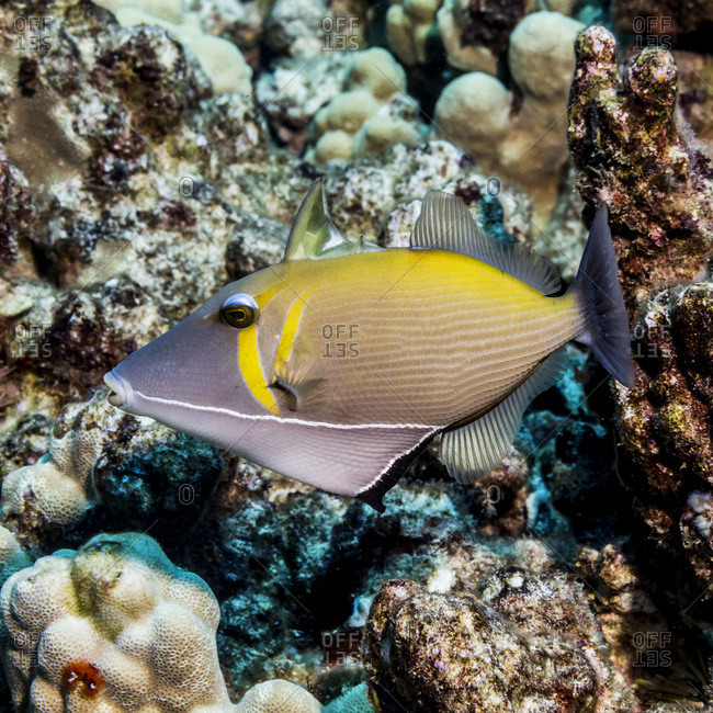 Portrait of a Lei Triggerfish (Sufflamen bursa) with erect spiny dorsal fin taken while scuba diving the Kona coast, Kona, Island of Hawaii, Hawaii, United States of America