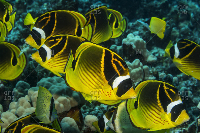 Racoon Butterflyfish (Chaetodon lunula) schooling off the Kona coast, taken while scuba diving with Jack's Diving Locker at Pawai Bay, Kona, Island of Hawaii, Hawaii, United States of America