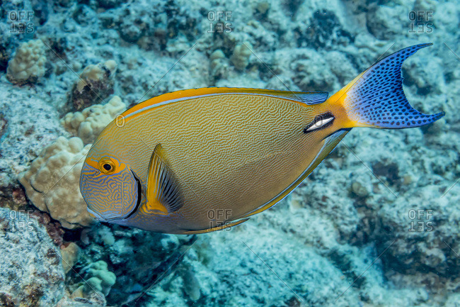 Portrait of a Eyestripe Surgeonfish (Acanthurus dussaumieri) taken while scuba diving the Kona coast, Kona, Island of Hawaii, Hawaii, United States of America