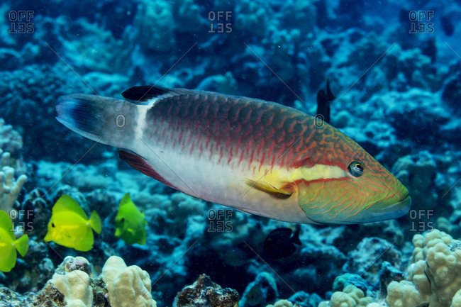 Ringtail Wrasse (Oxycheilinus unifasciatus) photographed while scuba diving off the Kona coast, Kona, Island of Hawaii, Hawaii, United States of America