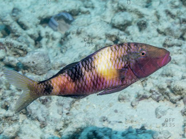 Manybar Goatfish (Parupeneus multifasciatus) releasing sand through its gill slits after feeding off the Kona coast, Kona, Island of Hawaii, Hawaii, United states of America