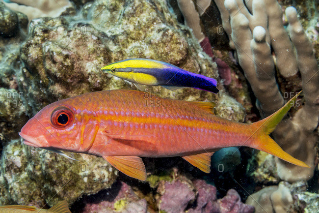 Yellow fin Goatfish (Mulloidichthys vanicolensis) with a Hawaiian Cleaner Wrasse (Labroides phthirophagus), a Hawaiian endemic fish, hover near a reef off the Kona coast, Kona, Island of Hawaii, Hawaii, United States of America