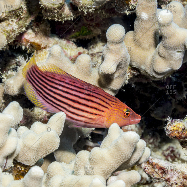 Eightlined Wrasse (Cymolutes lecluse) poised next to a lava-coral reef on the Kona coast, Kona, Island of Hawaii, Hawaii, United States of America