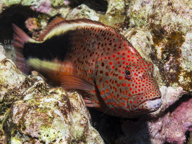 Freckled Hawkfish (Paracirrhites forsteri) resting on algae-covered dead coral (a result of coral bleaching) that was photographed while scuba diving the Kona coast, Kona, Island of Hawaii, Hawaii, United States of America