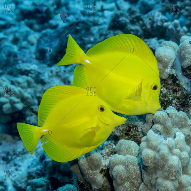 Pair of Yellow Tang (Zebrasoma flavescens) off the Kona coast, Kona, Island of Hawaii, Hawaii, United States of America