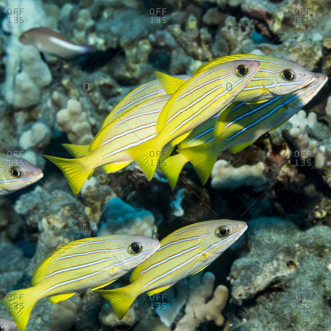 Bluestripe Snapper (Lutjanus kasmira) schooled at Garden Eel Cove, Kona Coast, Kona, Island of Hawaii, Hawaii, United States of America