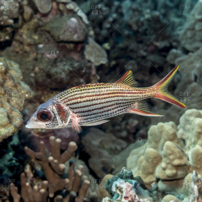 Spotfin Squirrelfish (Neoniphon sammara) portrait that was taken while scuba diving the Kona coast, Kona, Island of Hawaii, Hawaii, United States of America