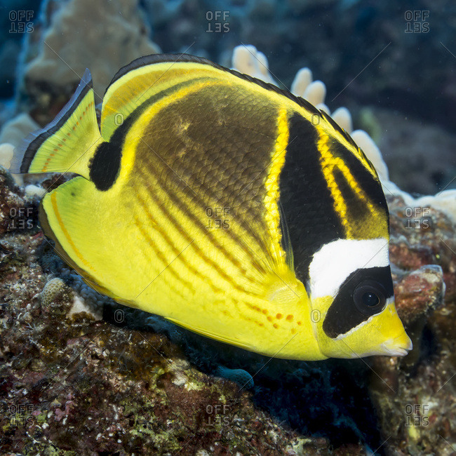 Racoon Butterflyfish (Chaetodon lunula) portrait taken underwater while scuba diving the Kona coast, Kona, Island of Hawaii, Hawaii, United States of America