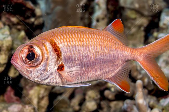 Portrait of a Epaulette Soldierfish (Myripristis kuntee) taken while scuba diving the Kona coast, Kona, Island of Hawaii, Hawaii, United States of America