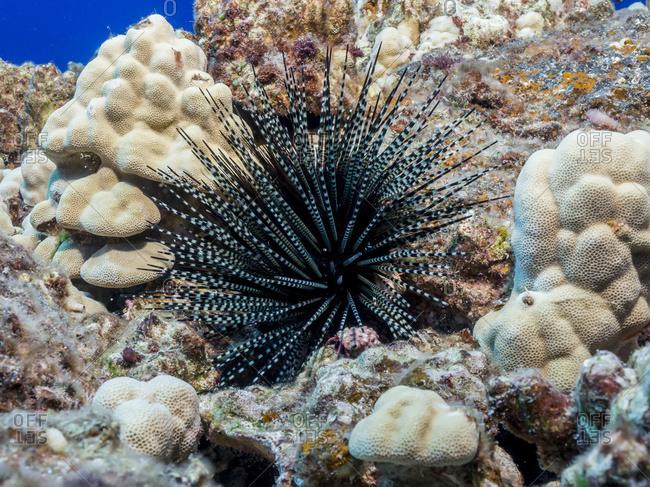 Banded sea urchin (Echinothrix calamaris) surounded by lobe coral (Porites lobata) on a coral reef off the Kona coast, Kona, Island of Hawaii, Hawaii, United States of America