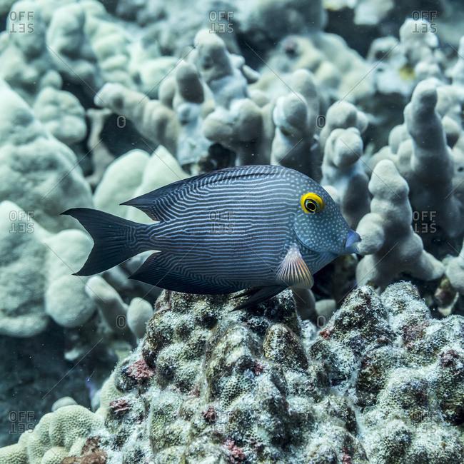 Goldring Surgeonfish (Ctenochaetus strigosus), a Hawaiian endemic fish, positioned near dead coral off the Kona coast, Kona, Island of Hawaii, Hawaii, United States of America