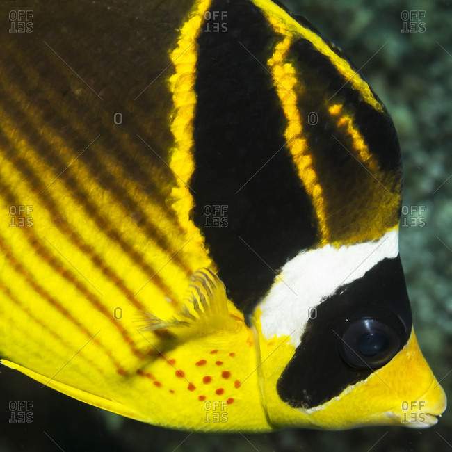 Racoon Butterflyfish (Chaetodon lunula) close-up portrait taken while scuba diving the Kona coast, Kona, Island of Hawaii, Hawaii, United States of America