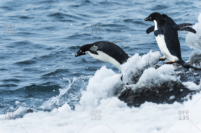 Adelie penguins (pygoscelis adeliae) jumping in the water, Antarctica