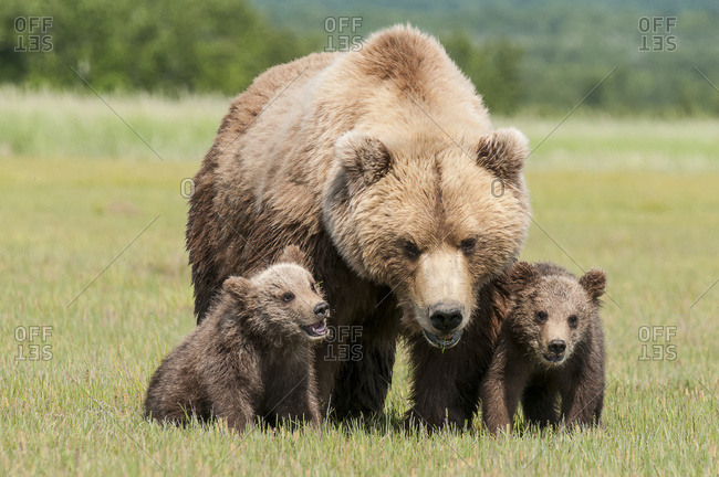 Brown bear and cubs, Katmai National Park, Alaska, United States of America