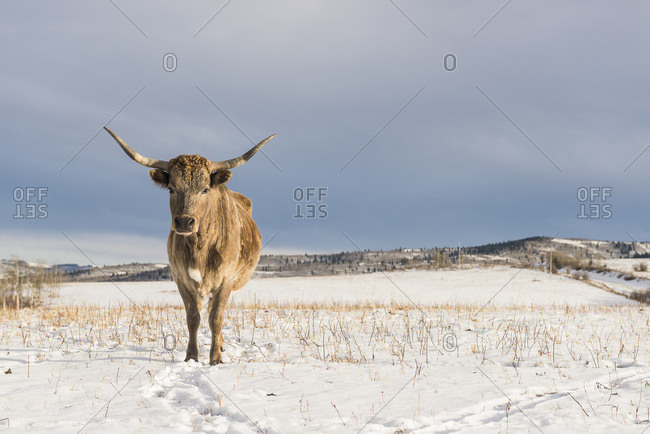 Longhorn cow stands on a snow covered field, Chain Lakes, Alberta, Canada
